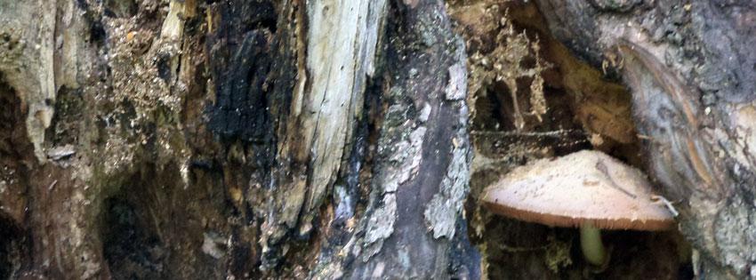 Facebook Borítóképek/Természet/Gomba: őszi borítókép Facebookra odvas fában élősködő gombával - facebook - számítógépre - idézettel - borítóképek - karácsonyi - ingyen - letöltése - háttérképek
