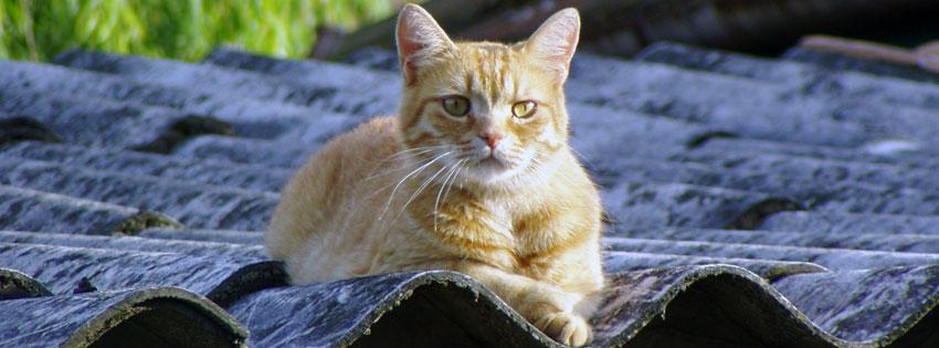 Facebook Borítóképek/Állatok/Macska: Facebook borítókép egy vöröses tarka macskával - ingyen - letöltése - facebook - háttérképek - karácsonyi - borítóképek - idézettel - számítógépre