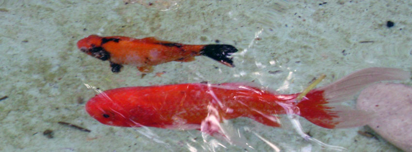 Facebook Borítóképek/Állatok/Díszállatok: Borítókép Facebookra aranyhalakkal - ingyen - háttérképek - borítóképek - facebook - letöltése - karácsonyi - számítógépre - idézettel