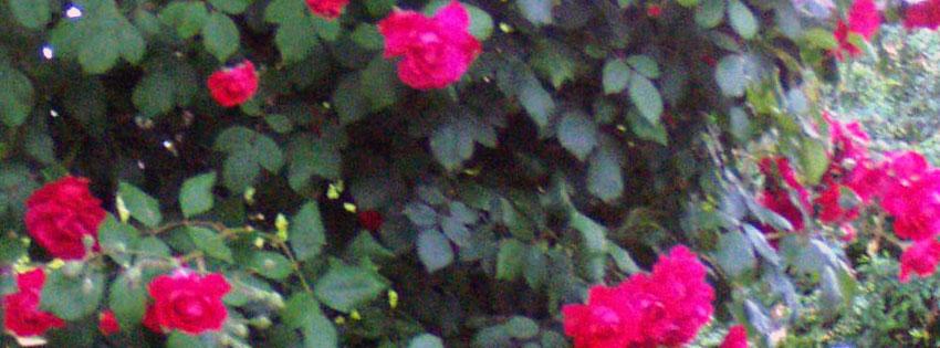 Facebook Borítóképek/Évszakok: Nyári Facebook Borítókép rózsákkal - idézettel - letöltése - karácsonyi - ingyen - számítógépre - háttérképek - borítóképek - facebook