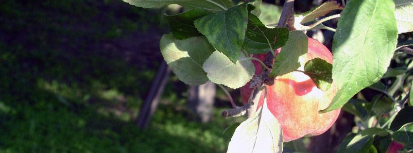 Facebook Borítóképek/Ételek/Élelmiszerek: Őszi Facebook borító almával - ingyen - letöltése - borítóképek - karácsonyi - idézettel - számítógépre - facebook - háttérképek