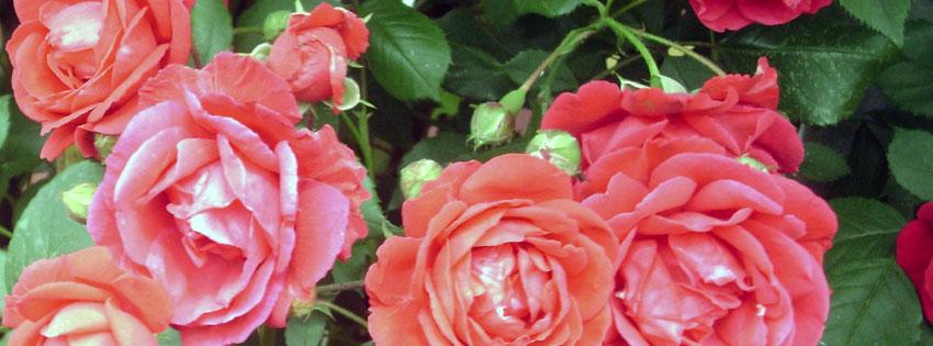 Facebook Borítóképek/Virágok: Tavaszi borítókép Facebookra rózsákkal - idézettel - letöltése - borítóképek - ingyen - karácsonyi - számítógépre - facebook - háttérképek