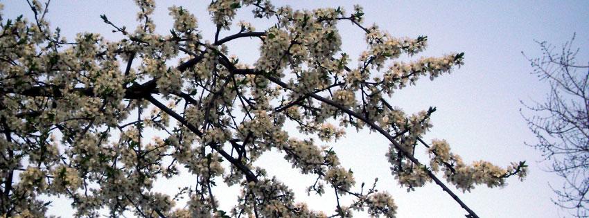 Facebook Borítóképek/Évszakok/Tavasz: Tavaszi Facebook borító virágzó fával - facebook - letöltése - borítóképek - karácsonyi - ingyen - számítógépre - háttérképek - idézettel